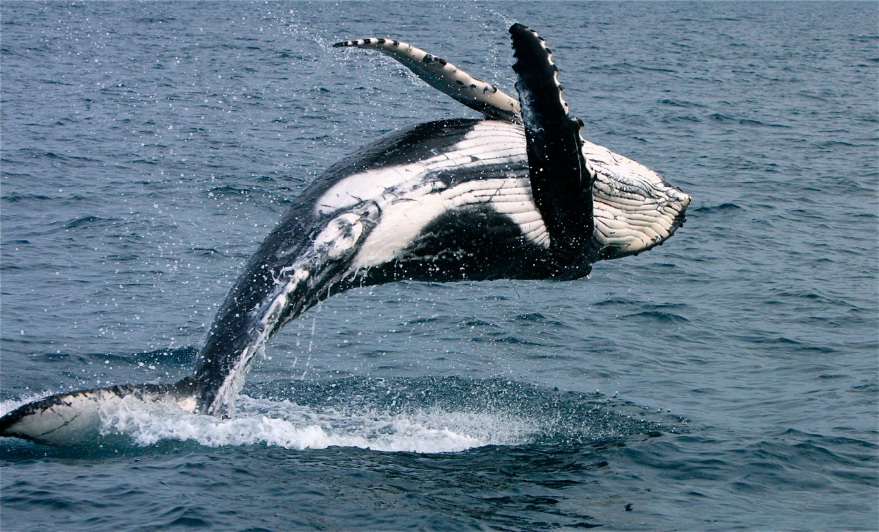 Whales in Hervery bay