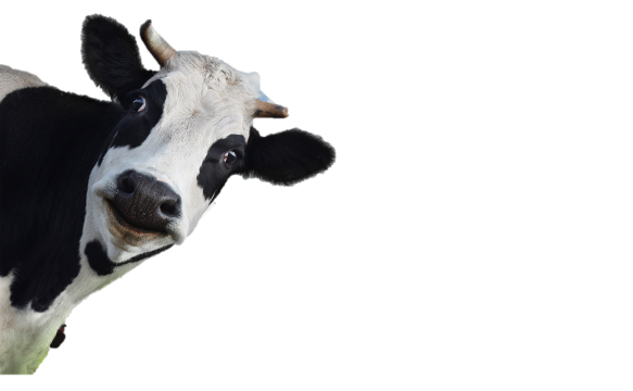 cow without background.png