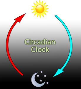 circadian-clock