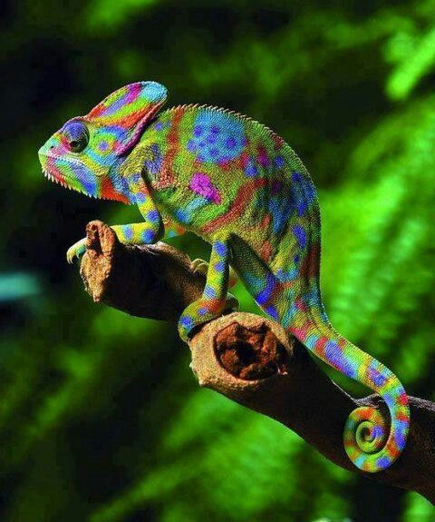 veiled-chameleon-the-chameleon