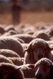 commodities-sheep-meat.html_PHOTO